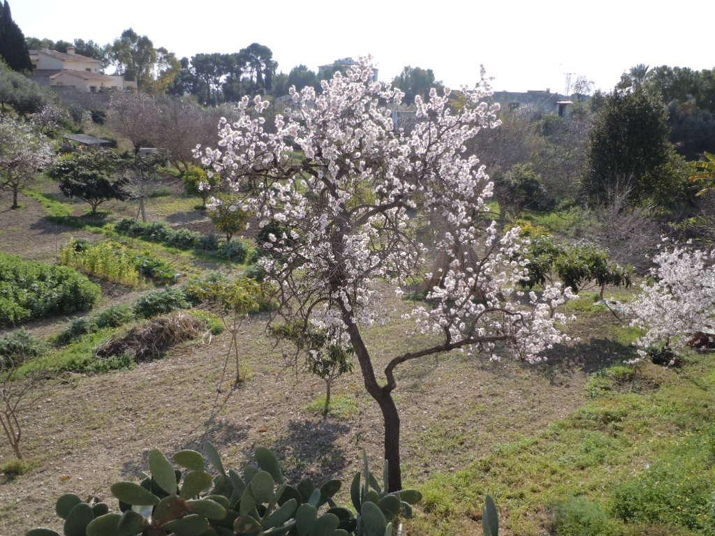 Mandelträden i blom på Mallorca