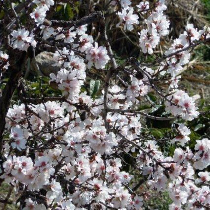 Färre mandelträd på Mallorca
