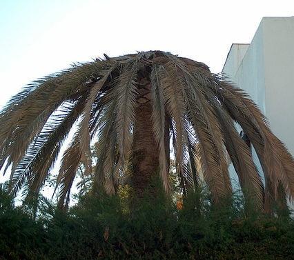 Fler och fler palmer dör på Mallorca