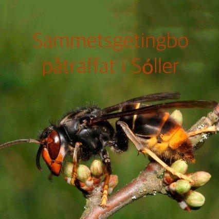 Sammetsgetingbo påträffat i Sóller