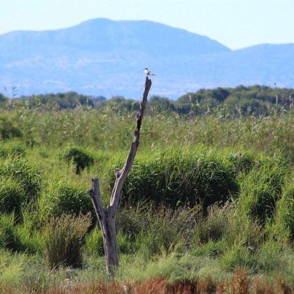 Antalet sjöfåglar i s'Albufera ökar