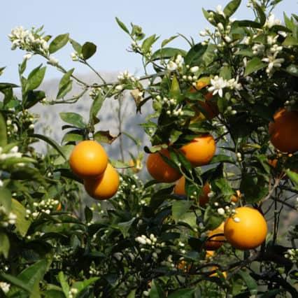 Regnet förstörde de första apelsinerna men gynnar oliverna