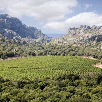"""Pesten """"Xyllela fastidiosa"""" får vinodlare att flytta till Mallorca"""