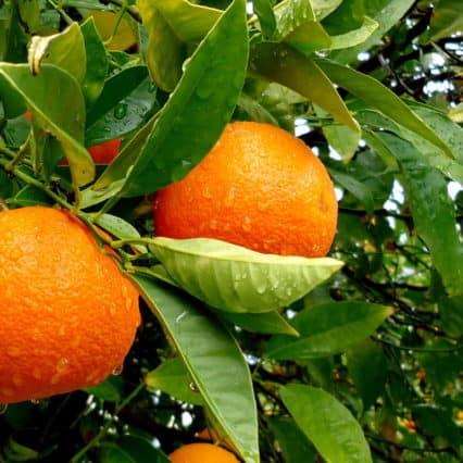 Goda nyheter för Mallorcas apelsinodlare